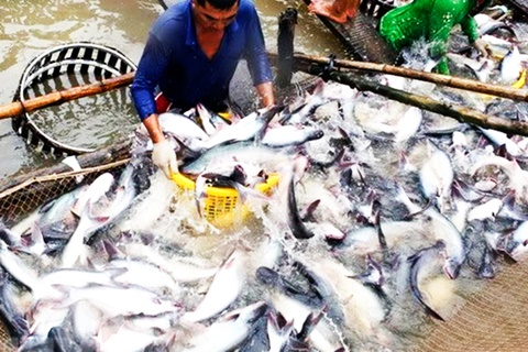 Producing fish sauce from pangasius catfish by-products